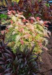 Sorbaire à feuilles de sorbier sorbifolia Pink Hopi® 'COUSORB05' Godet