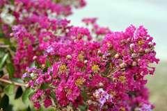 Llas des Indes indica Minie Fuchsia® 'Dablage01' Godet