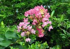 Lilas des Indes indica Rose C 4 litres