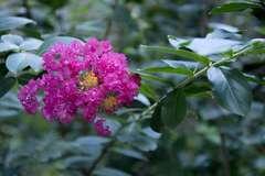 Lilas des Indes indica Violet C 4 litres