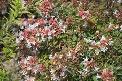 Abélie à grandes fleurs grandiflora Sparkling Silver® C 3 litres