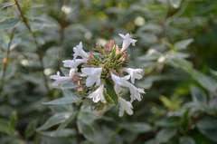 Abélie à grandes fleurs grandiflora Lucky Lots® 'Wevo1' C 3 litres