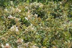 Abélie à grandes fleurs grandiflora Sunshine Daydream® C 3 litres