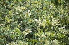 Abélie à grandes fleurs grandiflora Radiance C 3 litres