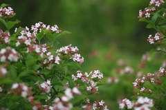 Abélie parfumé mosanensis Monia C 7,5 litres
