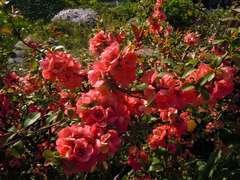 Cognassier du Japon speciosa Rubra Graniflora C 3 litres