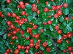 Cotoneaster dammeri Green carpet C 4 litres
