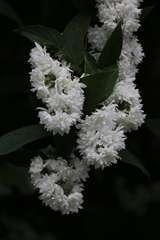 Deutzies x hybrida Yuki Cherry Blossom® C 4 litres