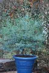 Eucalyptus gunni France Bleu® 'Rengun' C 4 litres