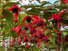 Fuchsia x Lady Boothby® Godet