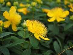 Millepertuis calycinum Hidcote C 3 litres