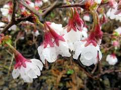 Cerisier à fleurs nain du Japon incisa Kojo No Mai C 4 litres