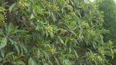 Hortensia grimpant serratifolia  Godet