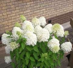 Hortensia paniculé paniculata Magical® Sweet Summer Godet