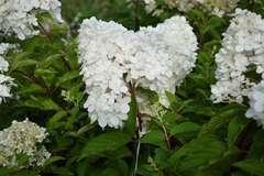 Hortensia paniculé paniculata Phantom C 7,5 litres