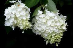 Hortensia paniculé paniculata Limelight C 3 litres