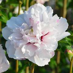Hibiscus syriacus French Cabaret® Pastel 'Mindoub1' C 4 litres