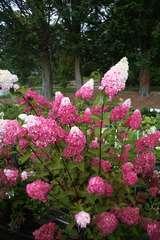 Hortensia paniculé paniculata Fraise Melba® 'Renba' C 4 litres