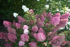 Hortensia paniculé paniculata Sundae Fraise® 'Rensun' C 4 litres