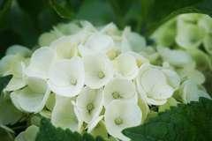 Hortensia macrophylla Blanc C 4 litres