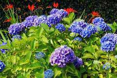 Hortensia macrophylla Bleu C 4 litres