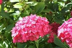 Hortensia macrophylla Rouge C 4 litres
