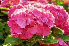 Hortensia macrophylla Rose C 4 litres