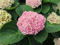 Hortensia de Virginie arborescens Pink Annabelle® C 4 litres