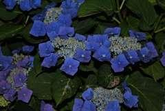 Hortensia macrophylla Teller Weiss C 4 litres