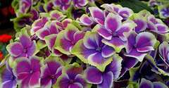 Hortensia macrophylla Tricolor C 4 litres