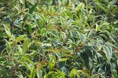 Leucothoë de Desfontaines fontanesiana Whitewater® C 7,5 litres