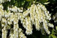 Andromède du Japon japonica Little Heath C 3 litres