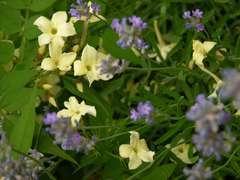 Jasmin blanc officinalis Clotted Cream® 'Devon Cream' Godet