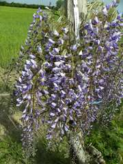 Gycine du Japon floribunda Royal Purple C 3 litres