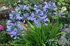 Agapanthe africanus Pitchoune Blue® 'Scarey09' C 4 litres