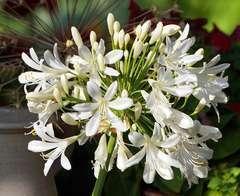Agapanthe umbellatus Blanche C 4 litres