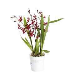 Orchidée Cambria 'Barrocco red', 3 tiges, pot Ø12 cm