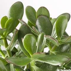 Crassula ovata 'Minor' : pot d.25cm