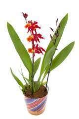 Orchidée Orchidée 2 tiges - pot D.12 cm