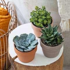 Succulentes : pot D10.5cm