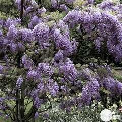 Wisteria sinensis:tipi pot 3L