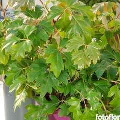 Cissus rhombifolia : susp D17