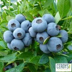 Myrtillier 'Sunshine Blue' bio : pot de 1,5 litres