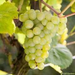 Vigne 'Seyval Blanc' AB - pot 1,5 L