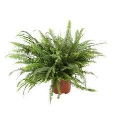 Nephrolepsis 'Green Lady' :