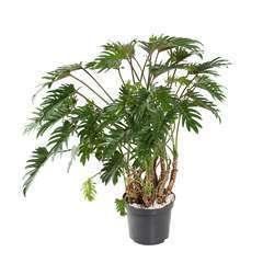 Philodendron Xanadu : pot D32 x H100cm