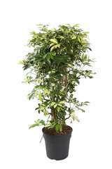 Schefflera trinette : pot d27xH110cm