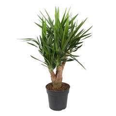 Yucca ramifié : pot d27xH100cm