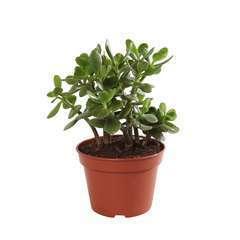 Crassula ovata 'Minor' : pot D15cm