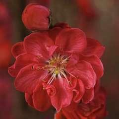 Prunus 'Taoflora Red':pot 10L